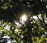 SunThruTree
